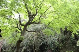 たからの庭 かえで新緑_DSC1594